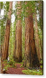 Scale - The Beautiful And Massive Giant Redwoods Sequoia Sempervirens In Redwood National Park. Acrylic Print