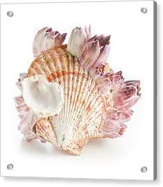 Scallop Shell And Barnacles Acrylic Print by Science Photo Library