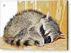 Scared Raccoon Acrylic Print by Susan Leggett