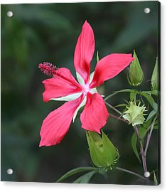 Acrylic Print featuring the photograph Scarlet Hibiscus #3 by Paul Rebmann