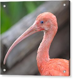 Scarlet Ibis 1 Acrylic Print by Richard Bryce and Family