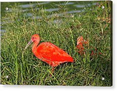 Scarlet Ibis (eudocimus Ruber Acrylic Print