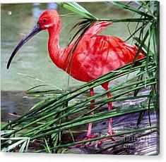 Scarlet Ibis Acrylic Print by Millard H. Sharp