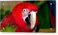 Acrylic Print featuring the photograph Scarlet Macaw by Bill Swartwout