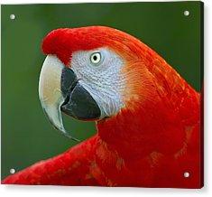 Scarlet Macaw Acrylic Print by Tony Beck