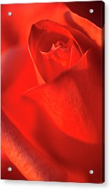 Scarlet Rose Abstract Acrylic Print by Nigel Downer