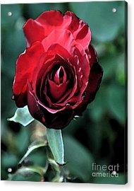 Scarlet Rose Acrylic Print