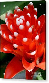 Scarlet Star Acrylic Print