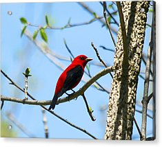 Scarlet Tanager Acrylic Print by James Hammen