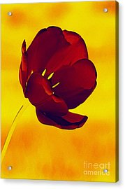 Scarlet Tulip At Sunset Acrylic Print