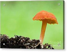 Scarlet Waxcap Acrylic Print by Dave Pressland/FLPA