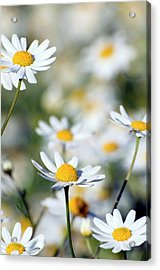 Scentless Mayweed (matricaria Maritima) Acrylic Print by Dr. John Brackenbury/science Photo Library