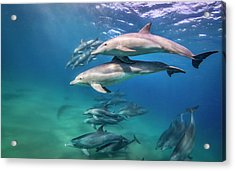 School Of Bottlenose Dolphins Tursiops Acrylic Print by Peter Pinnock