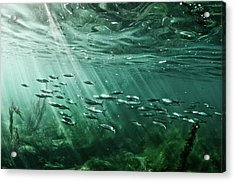 School Of Fish Swim In The Pacific Ocean Acrylic Print by Ashleywiley