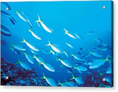 School Of Fish, Underwater Acrylic Print by Panoramic Images