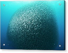 School Of Sardines In The Philippines Acrylic Print by Scubazoo