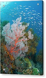 Schooling Fish And Coral Reef, Raja Acrylic Print by Jaynes Gallery