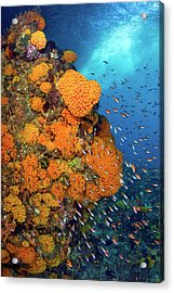 Schooling Fusiliers And Anthias Swim Acrylic Print by Jaynes Gallery