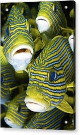 Schooling Sweetlip Fish, Raja Ampat Acrylic Print by Jaynes Gallery