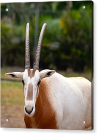 Scimitar Horned Oryx 2 Acrylic Print by Richard Bryce and Family