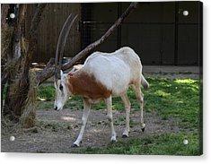 Scimitar Horned Oryz - National Zoo - 01132 Acrylic Print by DC Photographer