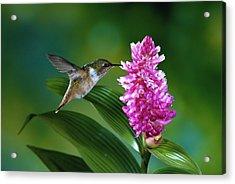 Scintillant Hummingbird Selasphorus Acrylic Print by Michael and Patricia Fogden