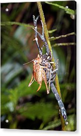 Scorpion Carrying A Cricket Acrylic Print by Dr Morley Read