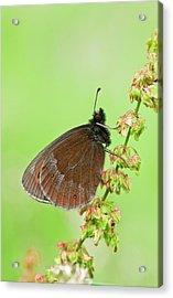 Scotch Argus Butterfly On A Dock Plant Acrylic Print by Bob Gibbons