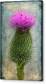 Scotch Thistle Acrylic Print