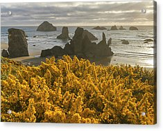 Scotchbroom And Sea Stacks, Bandon Acrylic Print by William Sutton