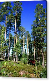 Scots Pine Forest Acrylic Print by Andrew Brown/science Photo Library