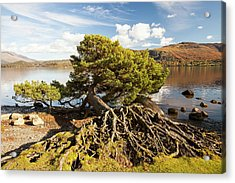 Scots Pine On Lake Shore Acrylic Print by Ashley Cooper