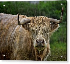Scottish Highland Cattle Acrylic Print