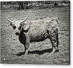 Scottish Highland Cow In Maine Farm Field Acrylic Print