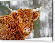 Scottish Highland Cow Acrylic Print by Michael Allen