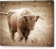 Scottish Highlander Bull Acrylic Print