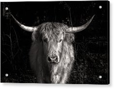Scottish Highlander Acrylic Print by Robert  FERD Frank