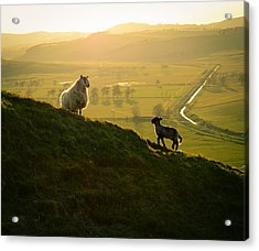 Scottish Sheep And Lamb Acrylic Print by Mr Doomits