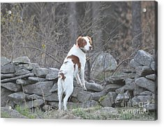 Scout Acrylic Print by Sally Rice