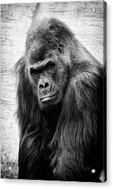 Scowling Gorilla Acrylic Print