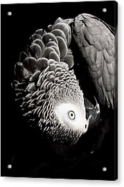 Scratch Me Acrylic Print by Paulina Szajek