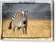 Scratched Tin Zebra Acrylic Print by Mike Gaudaur