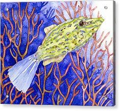 Scrawled Filefish Acrylic Print