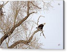 Screamin' Eagle Acrylic Print by Eric Nielsen
