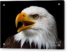Screaming Bald Eagle Acrylic Print