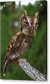 Screech Owl. Seminole County. Acrylic Print