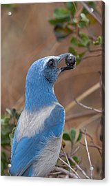 Acrylic Print featuring the photograph Scrub Jay With Acorn by Paul Rebmann