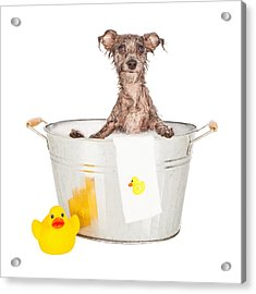 Scruffy Terrier In A Bath Tub Acrylic Print