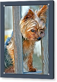 Acrylic Print featuring the photograph Scruffy Yorkie by Donna Proctor