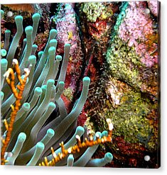 Acrylic Print featuring the photograph Sea Anemone And Coral Rainbow Wall by Amy McDaniel